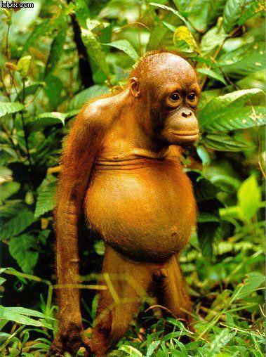 Orangutang- sötaste och dummaste fotot