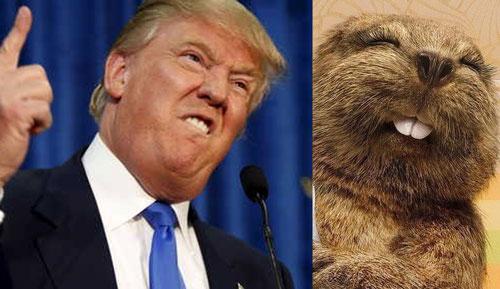 Donald Trump och en bäver - lika som bär
